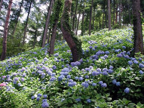 梅雨時期にしっとりと咲く和風の花 あじさい