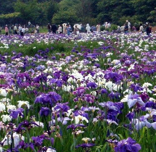 約220種、8,000株、約10万本の花菖蒲が