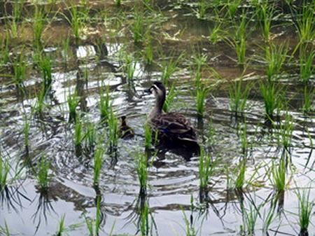 すぐ隣の稲田では稲苗が生長しておりカモの親子の姿も