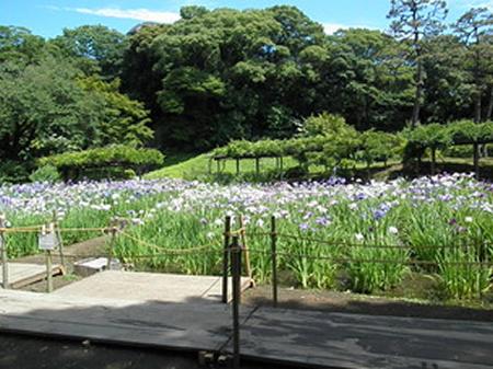 花菖蒲をより間近で楽しんで頂くための木道「花菖蒲の小道」を設置