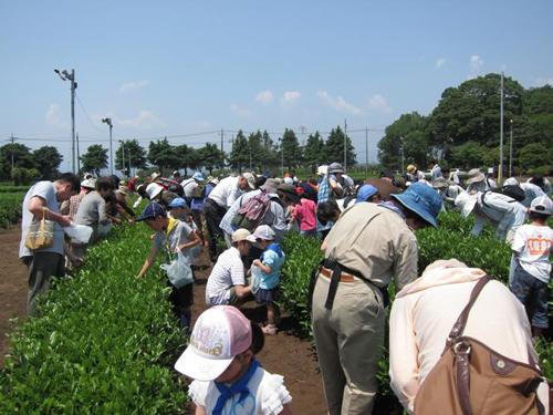 「狭山茶摘み体験フェスタ2015」お茶の芽を20分間摘み放題