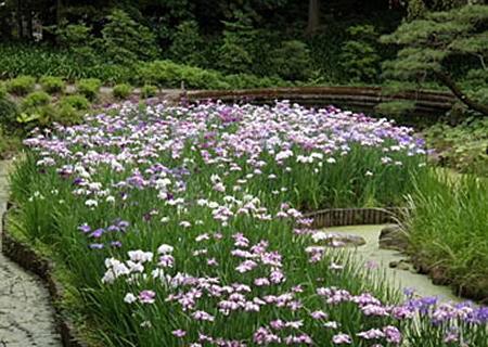 青、紫、ピンク、白の色とりどりのハナショウブ約350株が咲き誇る