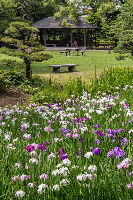 清澄庭園「花菖蒲と遊ぶ」