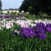 初夏の訪れとともに「吹上しょうぶ公園」では紫や白、青、ピンクなど約200種10万本のハナショウブが咲き誇る