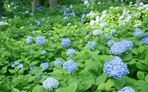 """水色のあじさいが一面に広がる丘は""""日本の初夏""""を感じさせる景色"""