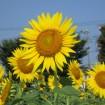 約50万輪のひまわり畑!「ひまわりガーデン武蔵村山」が2015年7月中旬から8月中旬に開園