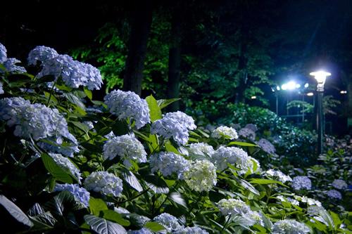期間中の土日には「あじさいナイト」を開催。園内がライトアップされ、昼間とは異なるロマンチックな雰囲気を楽しめる。