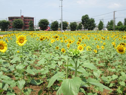約50万輪のひまわり畑!「ひまわりガーデン武蔵村山」が7月中旬から8月中旬に開園