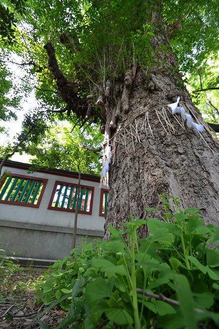 「ご神木」 境内裏手にある大きなご神木(イチョウの木)。近年は恋愛運に恵まれるパワースポットとして有名で、大勢の人が訪れる。