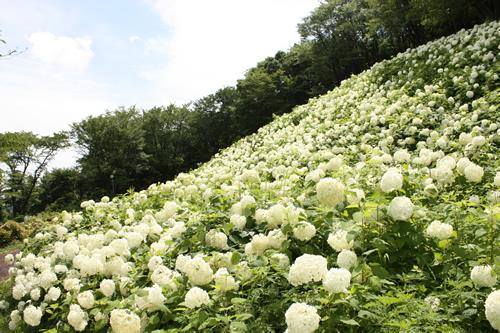 まるで雪山のような「アナベルの雪山」は圧巻!東京サマーランドの「あじさい観賞」が7月10日まで