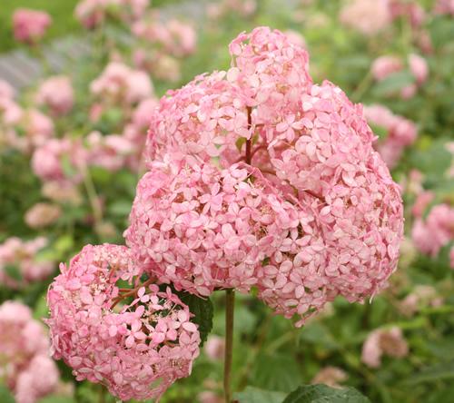 珍しいピンク色のアナベル