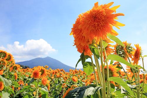 観賞できるのは八重ひまわり ・コスモス ・ひまわり「太陽」 ・そばの花 ・ミニひまわり ・陸前高田ひまわり。