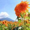 約100万本のひまわりやコスモスが咲くお花畑「あけのひまわりフェスティバル()」が2015年8月29日(土)~9月6日(日)に開催