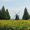 風車前広場に約5万本のひまわり!ヨーロッパのような風景が広がる柏市の「あけぼの山農業公園」