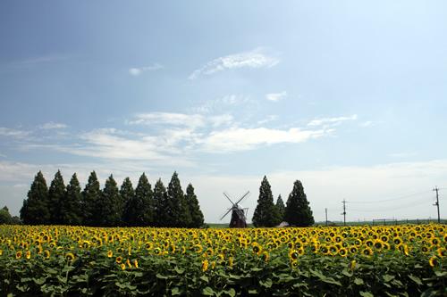 毎年7月中旬頃から下旬にかけて、1.2haの花畑でひまわりが見ごろを迎える