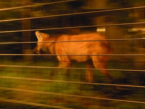 「西園・夜行性のタテガミオオカミ」