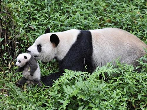 「夜のどうぶつシアター」<br />8月14日上映「ジャイアントパンダ~自然にかえる~」(第 12 回世界自然・野生生物映像祭正式出品作品)