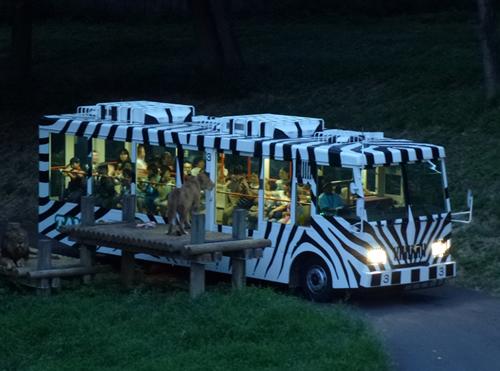 夕暮れのライオンバスに乗りたい!夜の多摩動物公園「サマーナイト@TamaZoo 2015」を8月に開催