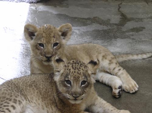 多摩動物公園のライオン飼育経験者が、ライオンについて座談会方式で語る「ライオン飼育経験者座談会」 写真は今年生まれたライオンの赤ちゃん