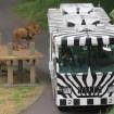 さよならライオンバス また会う日まで - 多摩動物公園の人気バスが来春で運行休止