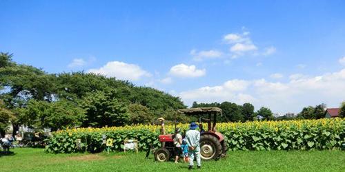 まるで北海道のような景色!西東京市の旧東大農場で約1,000㎡の「ひまわり迷路」を8月12日~8月28日に一般公開