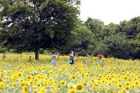 花の丘(砂川口側)のひまわり畑