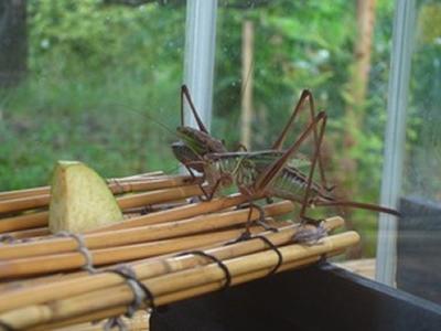 スズムシなど秋の虫を展示