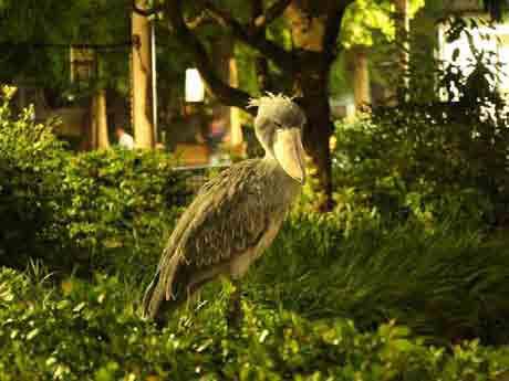 「西園・動かない鳥ハシビロコウ」