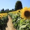 国営昭和記念公園 - 約50,000本のひまわり畑が7月下旬~8月中旬に見ごろ