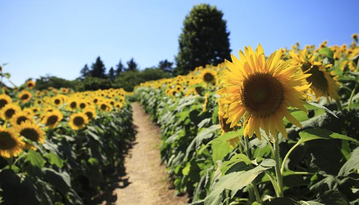 国営昭和記念公園では7月下旬 ~ 8月中旬にかけて約50,000本のひまわりが咲き誇る。かくれんぼができるひまわり迷路もあり。