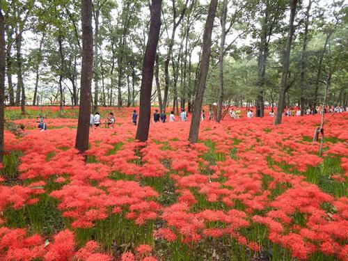 目の前に広がる500万本の赤いじゅうたん!「巾着田 曼珠沙華まつり」が2015年9月19日~10月4日