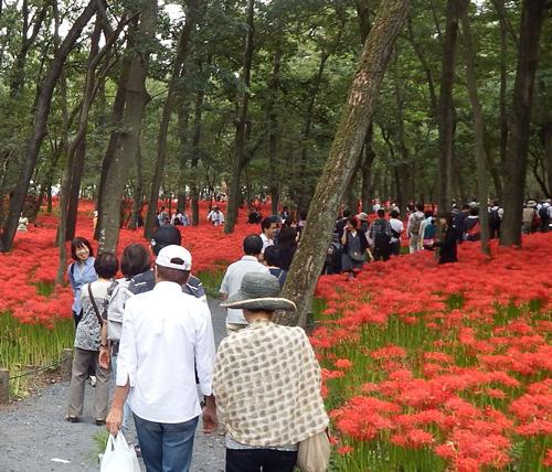開花時期になると約500万本の真っ赤な曼珠沙華が一面に咲き誇る