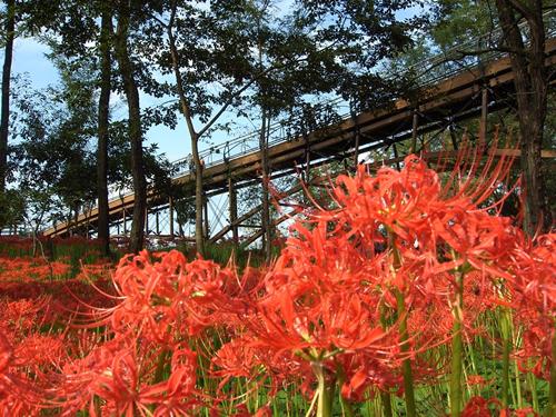 「あいあい橋」は巾着田の高麗川に架かる歩行者専用橋で全長91.2メートルの日本最長の木造トラス橋