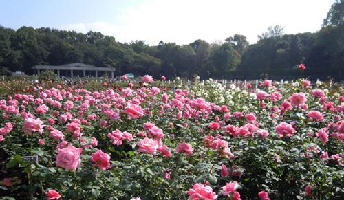 神代植物公園で「秋のバラフェスタ2015」が10月10日(土)~11月1日(日)に開催 - モーニングツアーやコンサートなど