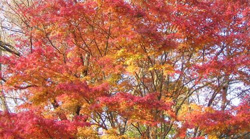 都内随一の紅葉鑑賞!「高尾山もみじまつり2015」が11月1日(日)から30日(月)まで開催