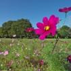 小金井公園「コスモスまつり2015」が10月24日(土)、25日(日)に開催-コスモスの花摘み持ち帰りもOK