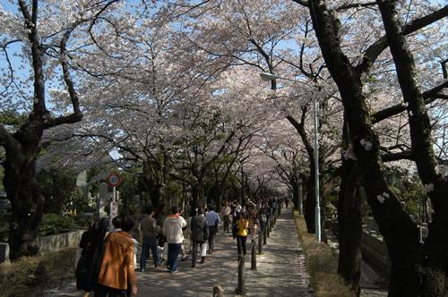 桜の時期の青山霊園