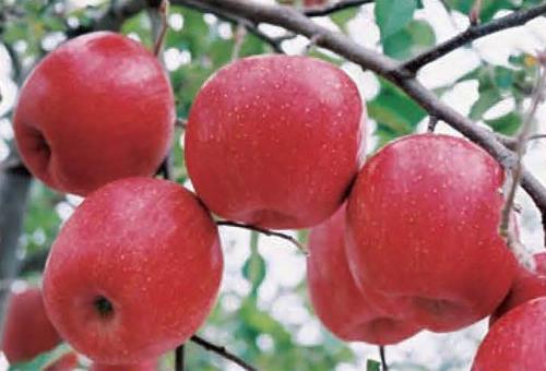 福島県産のみずみずしい「りんご」を直売