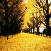 ヨーロッパのような黄金色の並木!「神宮外苑いちょう祭り」 は2015年11月14日(土)~12月6日(日)