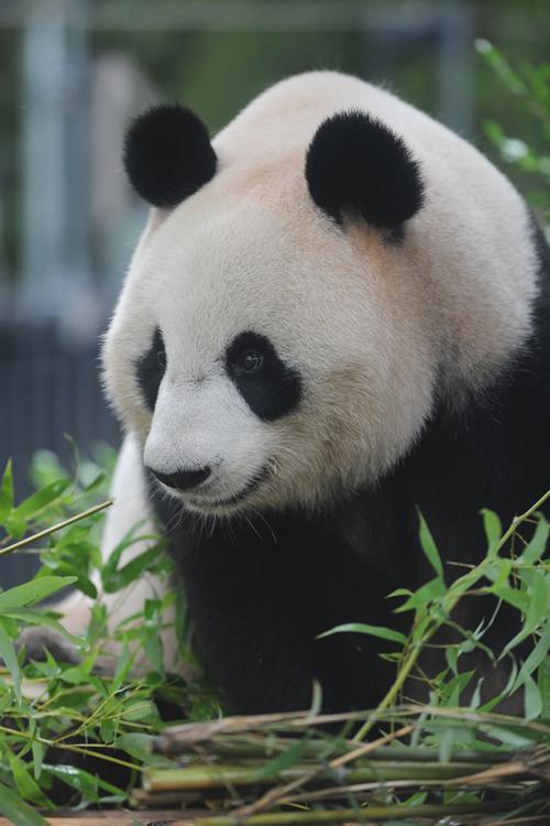 上野動物園でパンダの日記念イベント「パンダスティックステージ♪」を10月25日(日)に開催