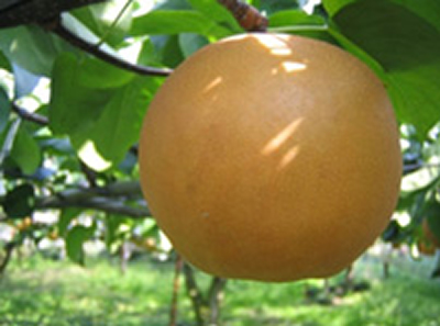 にっこり梨は、まん丸な大きな玉が特徴で、1玉1キログラムを超える大きな梨
